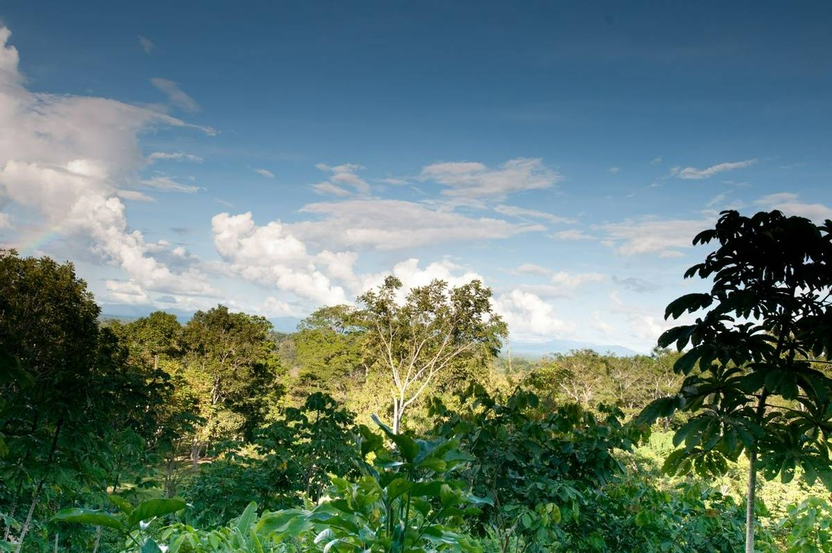 Forest (Fernando Alba, Canopy Family)