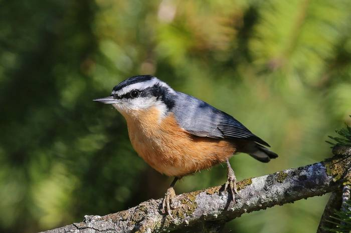 Red-breasted Nuthatch (Peter Dunn)