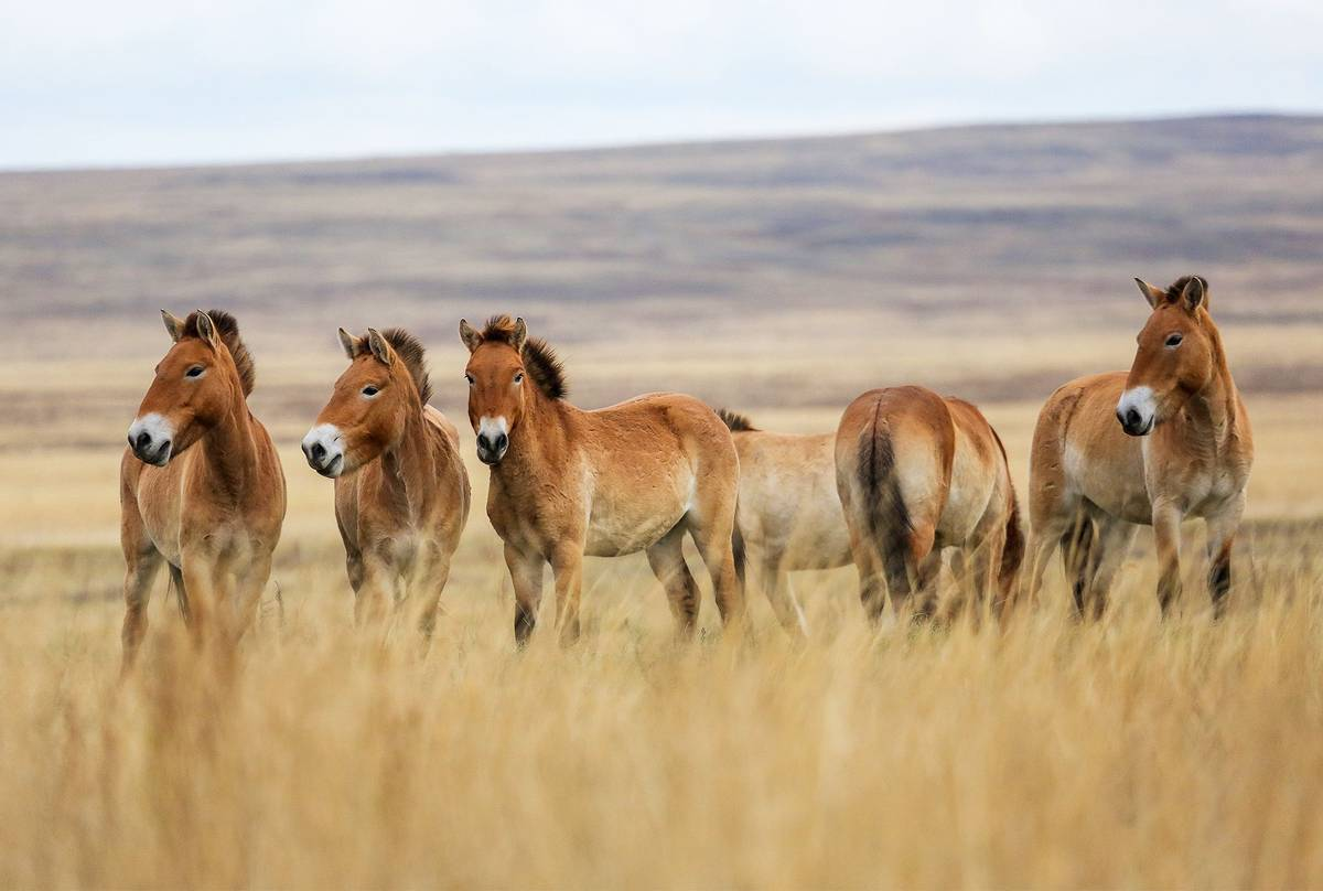 Przewalski's-Horses-shutterstock_644660326.jpg