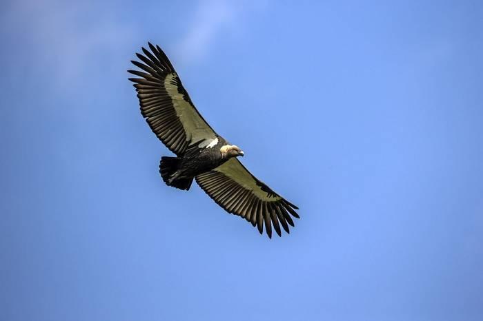 White-rumped Vulture, Cambodia shutterstock_670293367.jpg