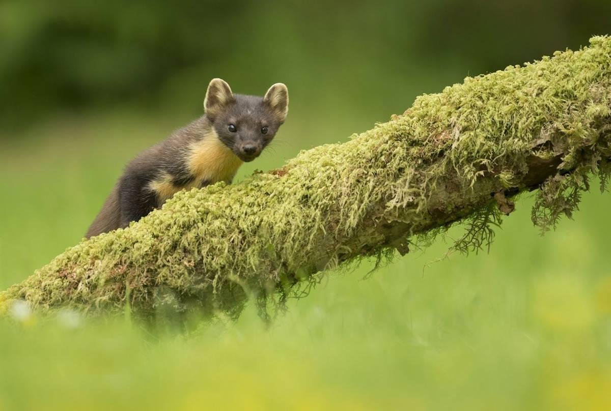 Pine marten (Martes martes) peering over log, Ardnamurchan, Scotland.