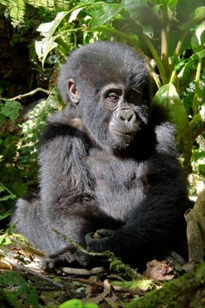 Infant Gorilla, Bwindi (Ian and Kate Bruce)