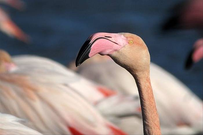 Greater Flamingo (Simon Gillings)