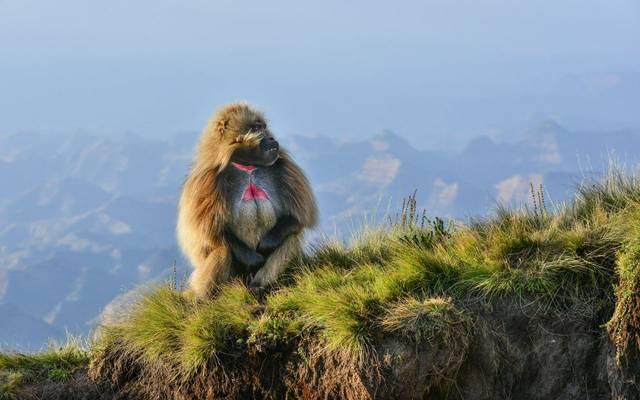Gelada Baboon, Ethiopia Shutterstock 368346014