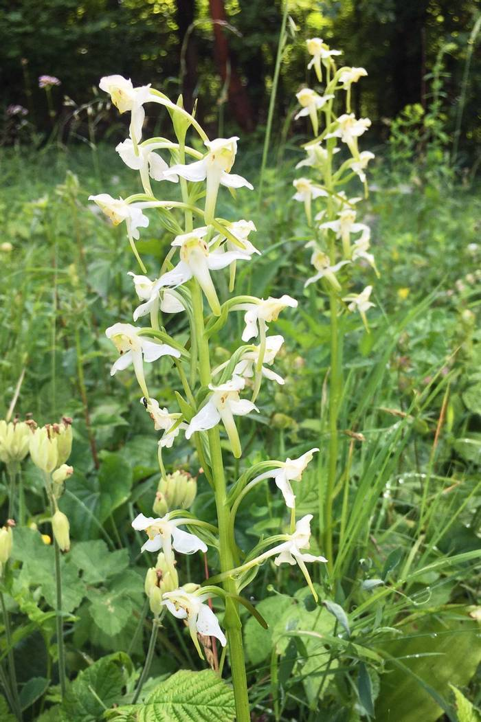 Greater-Butterfly-Orchids-(Tom-Ambrose).jpg