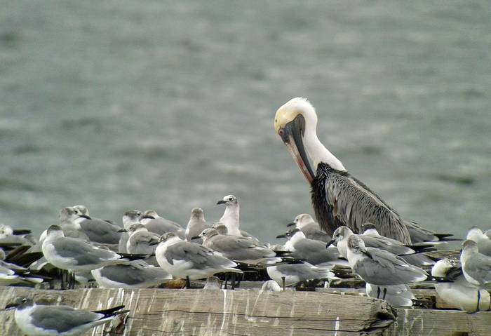 Brown Pelican and Laughing Gulls (Tom Mabbett 2016 tour)