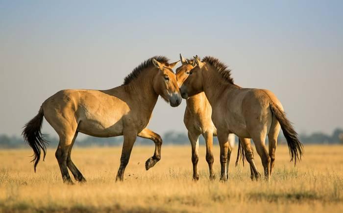 Mongolia (Przewalski Horse)