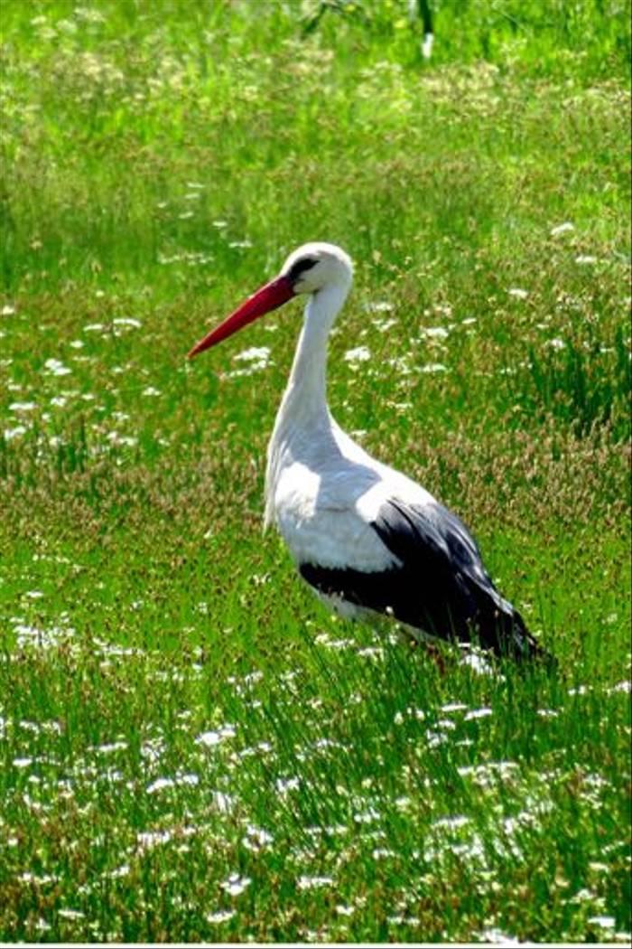 White Stork (Colin Wibberley)