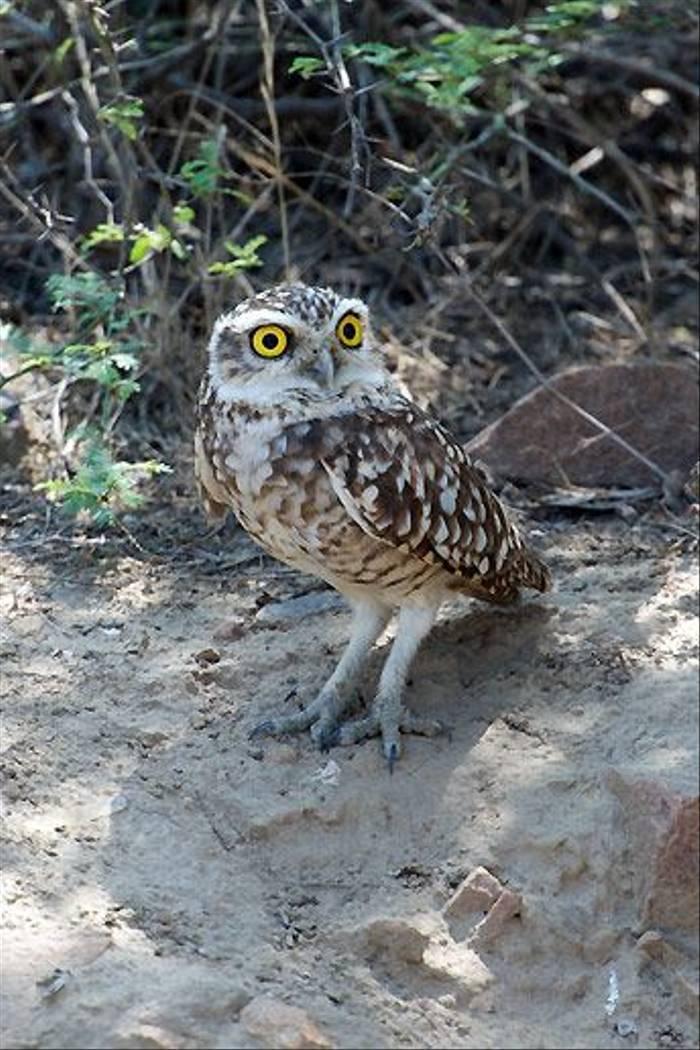 Burrowing Owl, Chiclayo (David Allison)