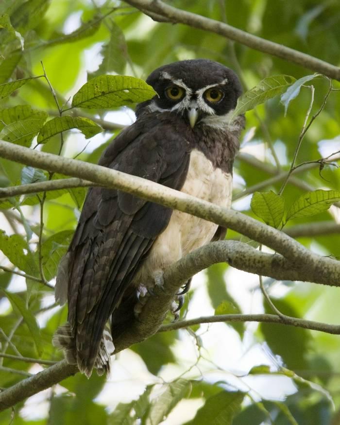 Spectacled Owl, Costa Rica shutterstock_111905951.jpg