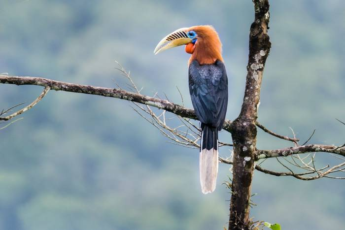 Rufous-necked Hornbill, Bhutan shutterstock_782312098.jpg