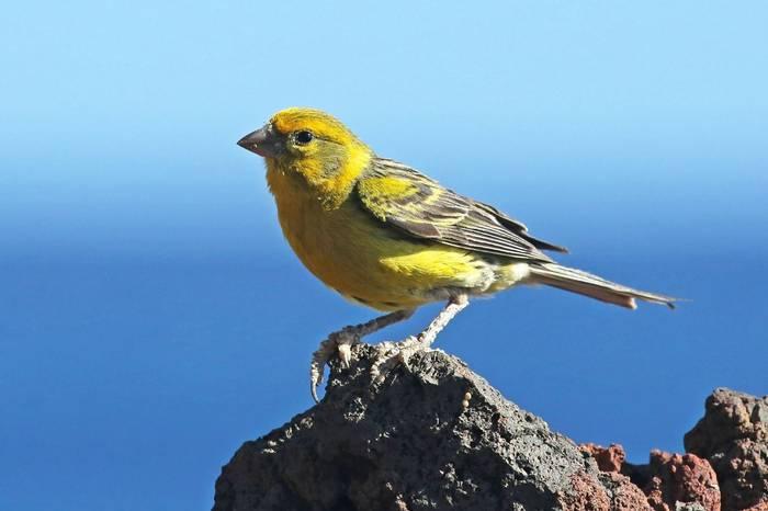 Atlantic Canary (Peter Dunn)