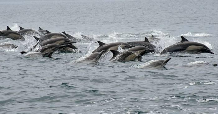 Common Dolphins shutterstock_198622331.jpg