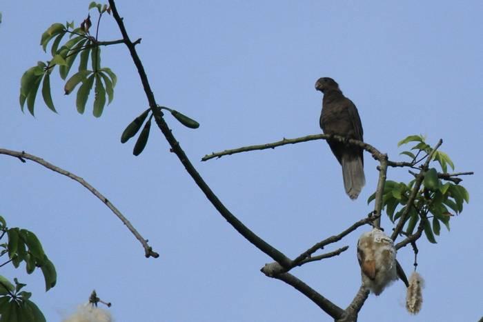 Seychelles Black Parrot (Andrew Lapworth).jpg