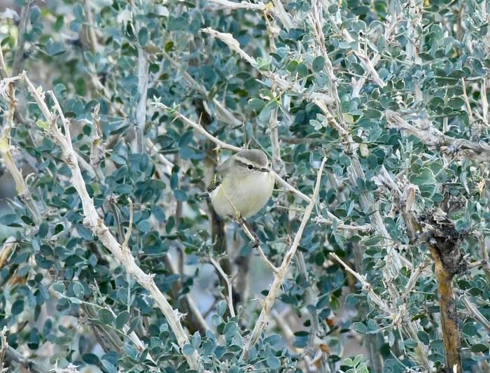 Yellow-browed Warbler (Adam Dudley).jpg