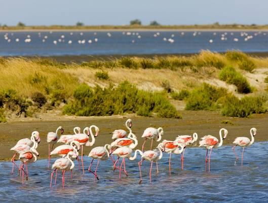 Flamingos, Parc Regional De Camargue, France (Richard Semik)