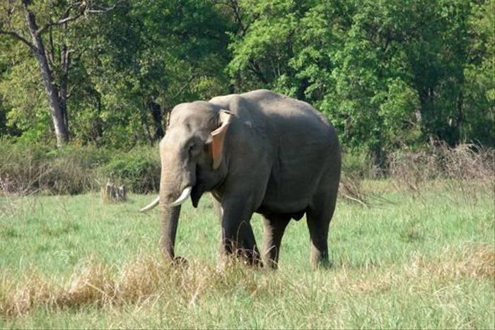 Wild Indian Elephant
