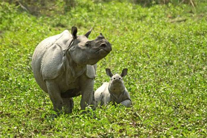Greater One-horned Rhinoceros and calf (Bret Charman)