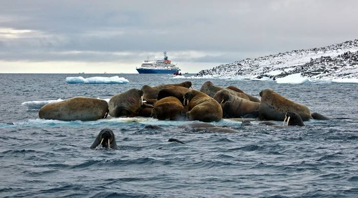 Walruses (John Bozinov).jpg