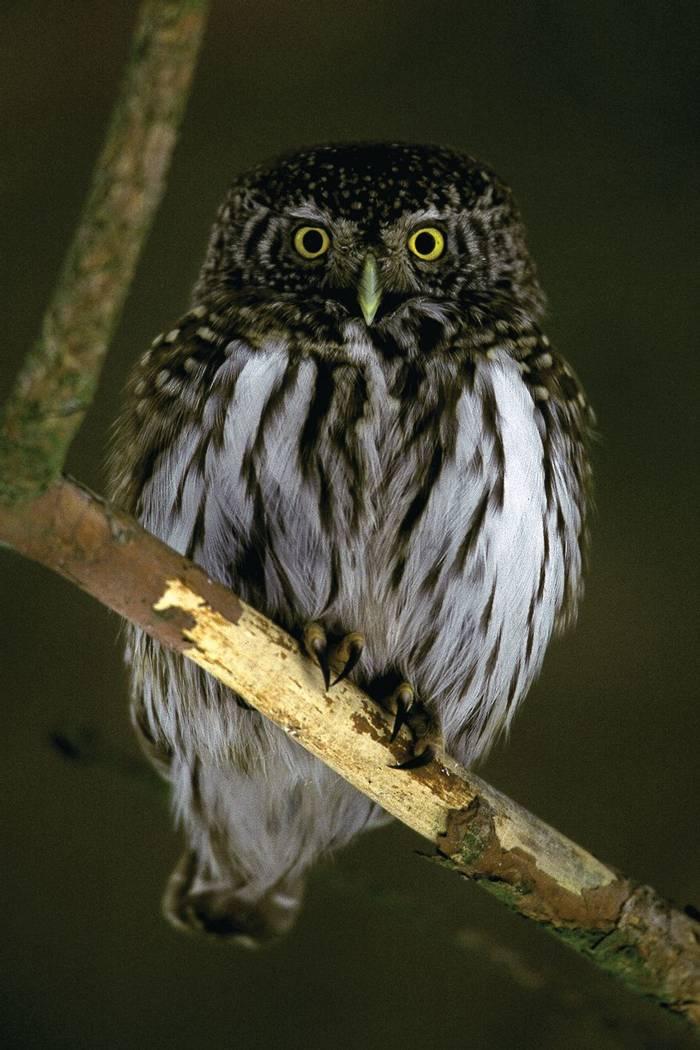 Pygmy Owl (Mati Kose)