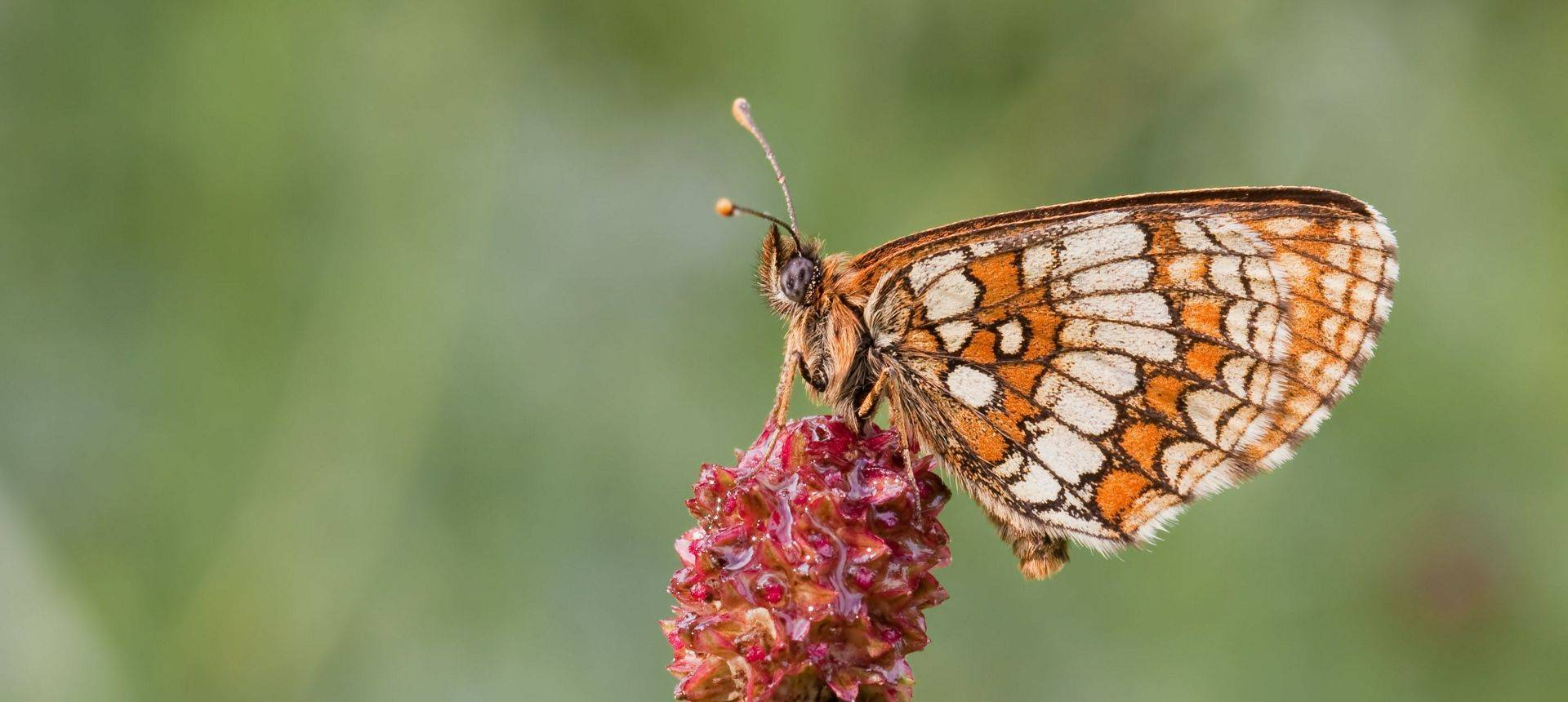 Nickerl'S Fritillary Butterfly Shutterstock 81114064