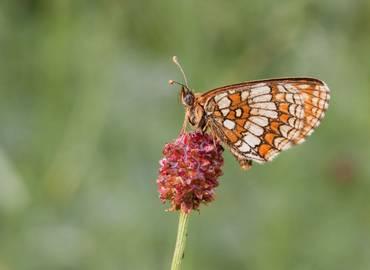 Romania's Butterflies & Moths