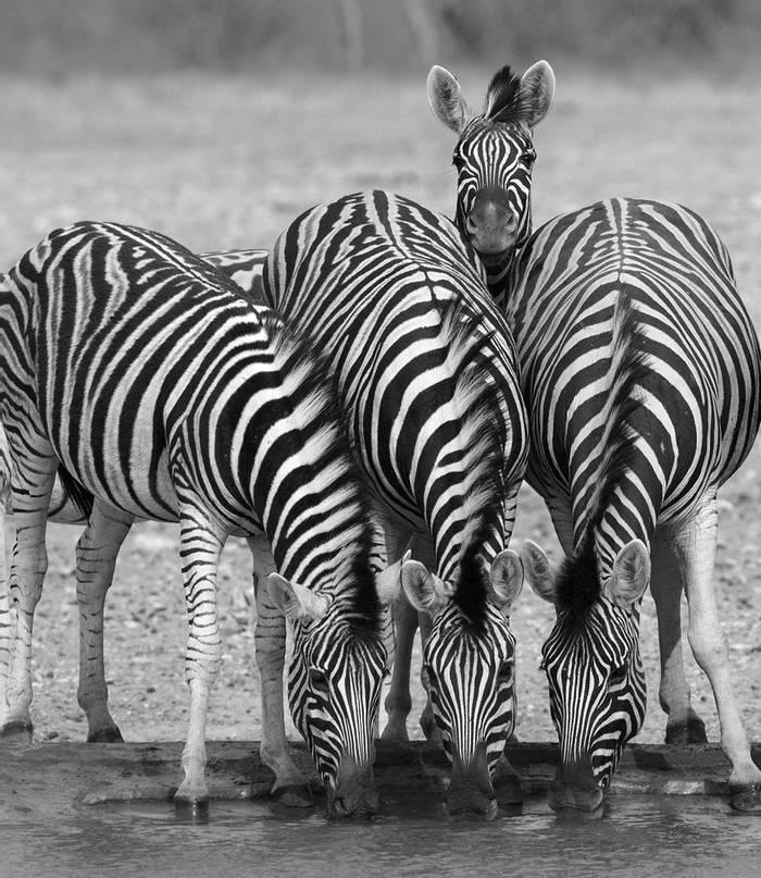Burchell'S Zebra (Equus Quagga) At Waterhole, Etosha © R Harvey