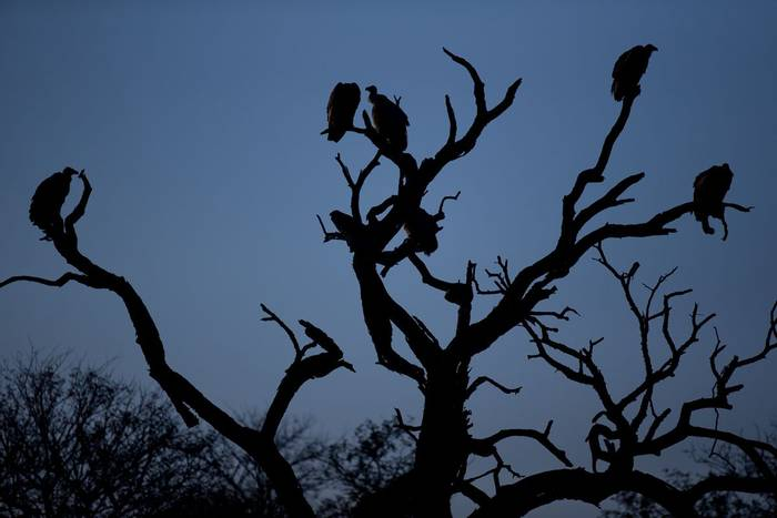 Griffon Vultures (Jonathan Lewis)