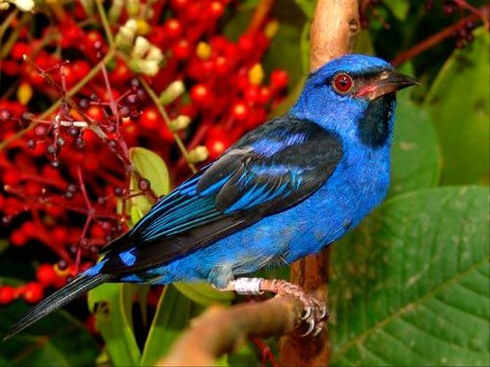 Male Blue Dacnis