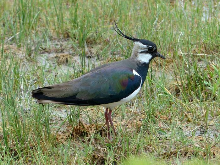 Lapwing (Dave Smallshire)