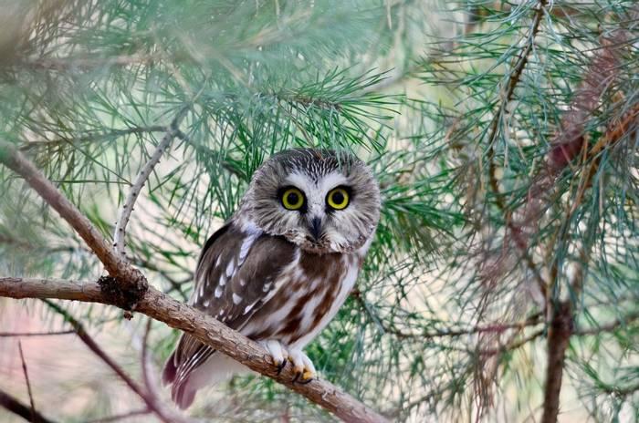 Eastern Canada, Northern Saw-whet Owl shutterstock_1236896161.jpg