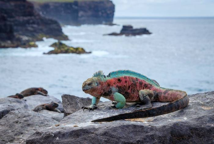 Marine Iguana, Espanola Island Galapagos Shutterstock 533833060