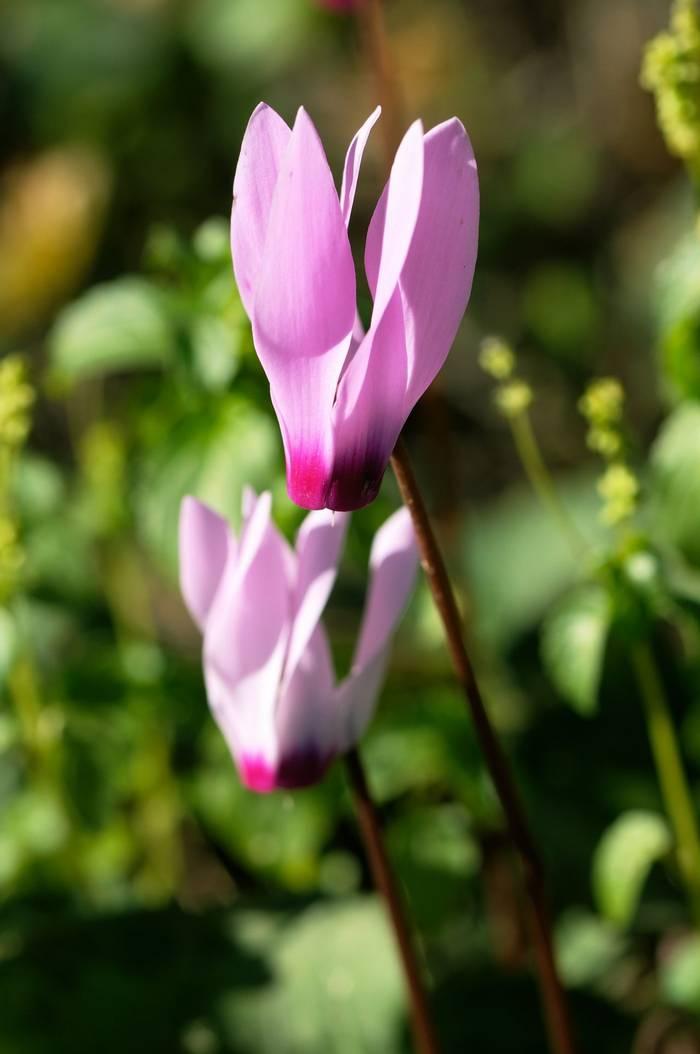 Cyclamen cyprium Flowers