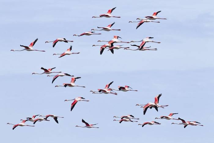 Greater Flamingo by Kevin Elsby.jpg