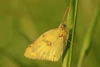 Berger'S Clouded Yellow Shutterstock 1026754900