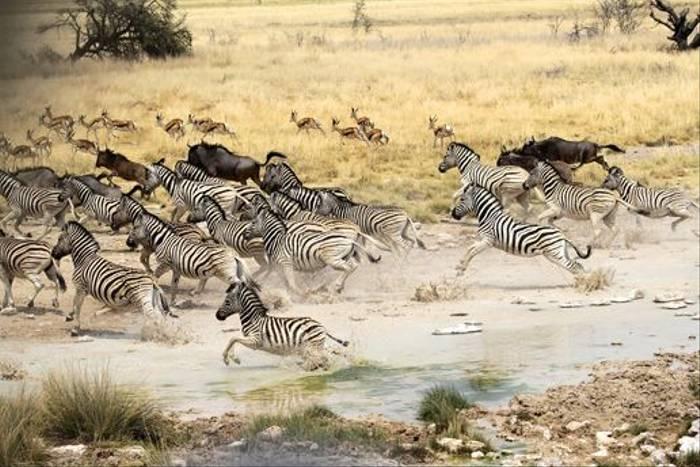 Burchell's Zebra (Neil Macleod)