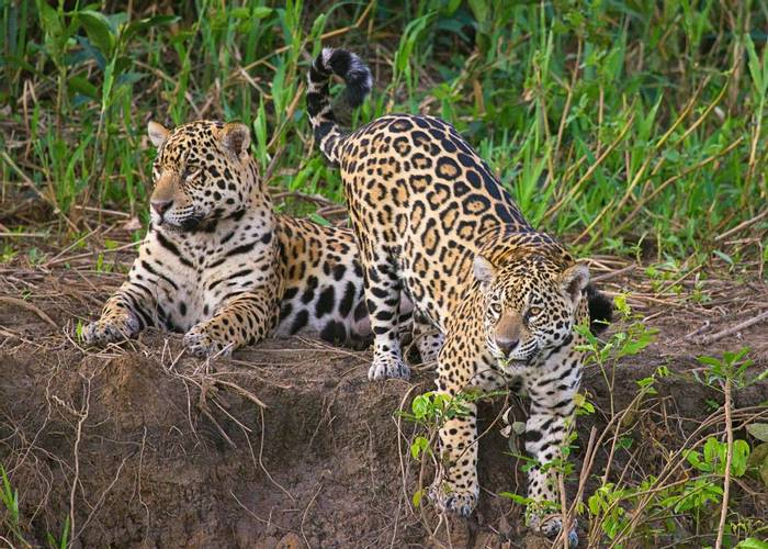 Jaguars (Andrew Griffin).jpg