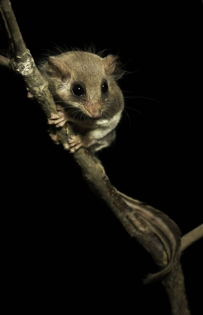 Feathertailed Glider