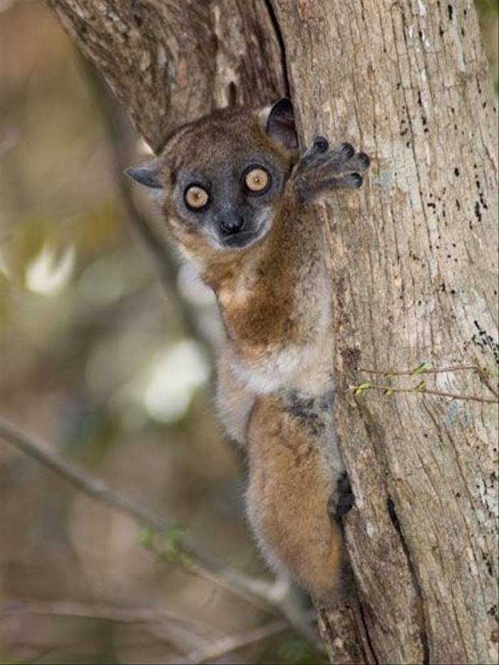 Red-tailed Sportive Lemur (Paul Stanbury)