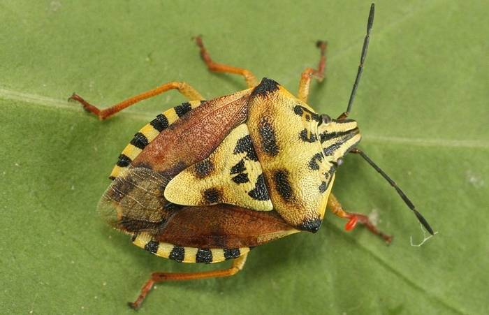 Carpocoris pudicus (mediterraneus)  - a shieldbug species (Alan Outen)