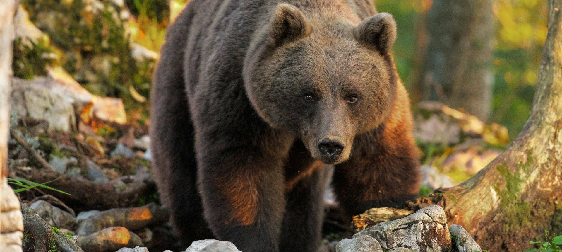 Brown Bear (Edited)