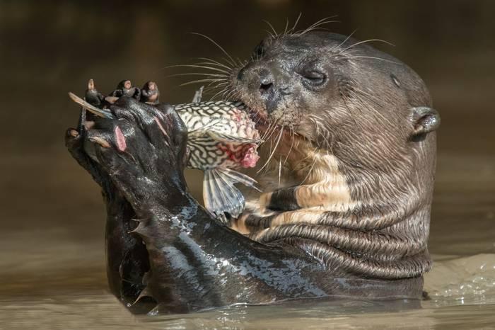 Giant River Otter (Tim Melling)