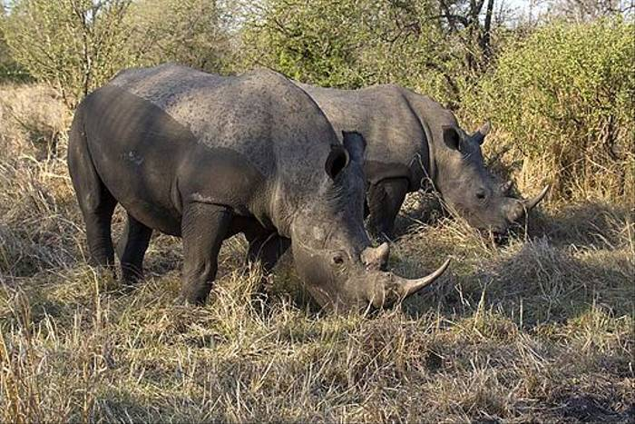 White Rhinoceros (Leon Marais)