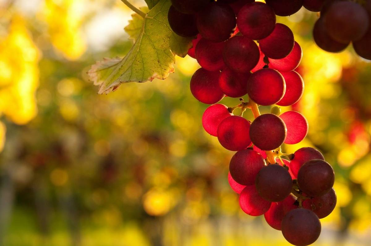 F&B-Italy-Montelupo-Piemont-Wine-AdobeStock_35183150.jpeg
