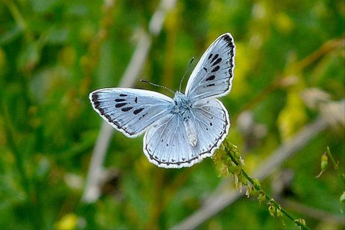 Large Blue  (David Ferguson)
