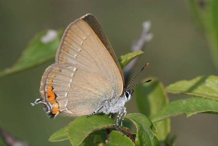 Sloe Hairstreak (Denise Whittle)