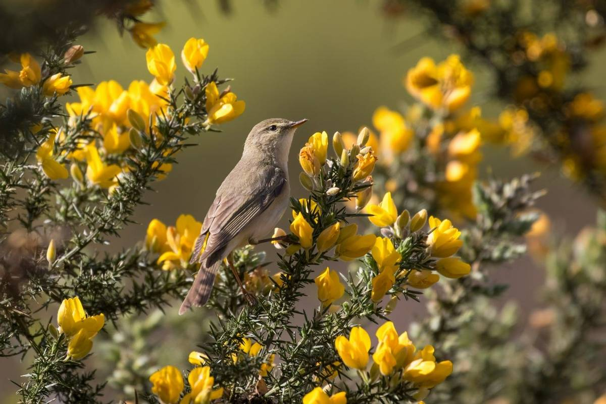 Willow warbler (Phylloscopus trochilus) foraging among gorse.