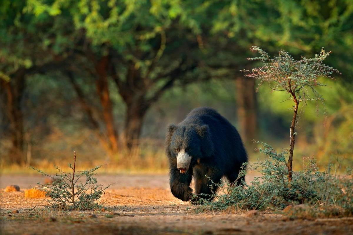 Sloth Bear, Ranthambhore, India Shutterstock 1024451848