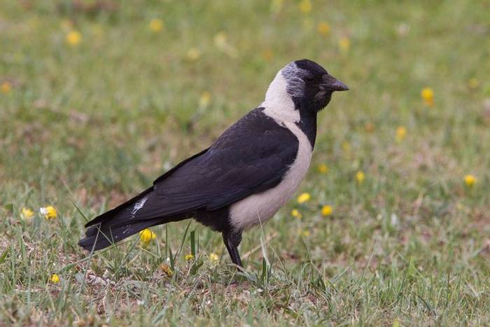 Daurian Jackdaw (Alan Curry)