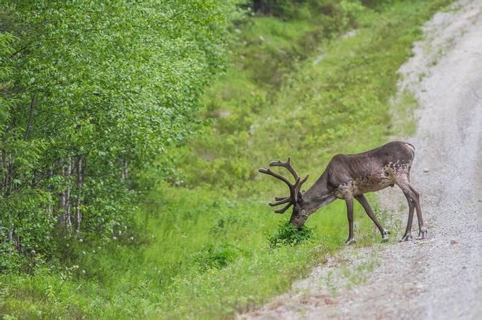 Forest Reindeer